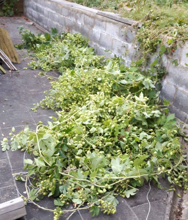 Récolte du houblon 2016